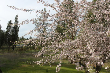 Apple and Pear Blossoms