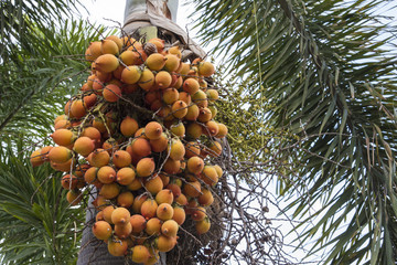 Palm fruits on the tree