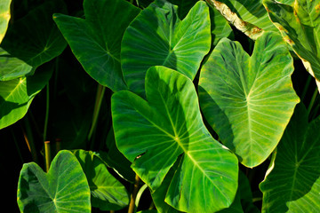 Giant Taro.Giant Taro,Alocasia Indica Green bushes, biennial plants, water weeds that occur in wet tropical areas. Big green leaf Used as a feed.