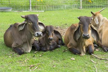 portrait of black ox in a farm