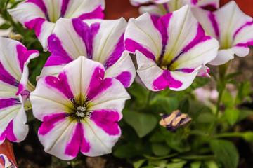 colorful flowers blooming petunias