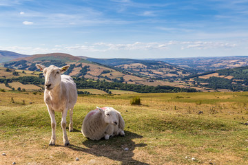 Sheep and lamb in the mountains of Brecon Beacons National Park in Wales, UK