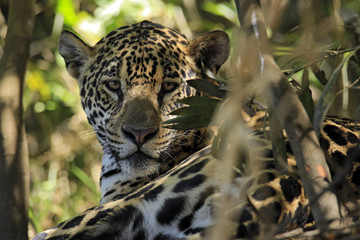 Portrait of a Jaguar (Panthera onca) Lying on the Ground, Looking into the Camera. Pantanal, Brazil
