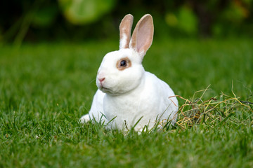 Calm and sweet little white rabbit sitting on green grass,