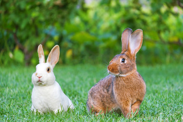 Calm and sweet little brown and white rabbits sitting on green grass