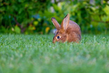 Calm and sweet little brown rabbit sitting on green grass,