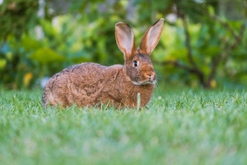 Calm and sweet little brown rabbit sitting on green grass