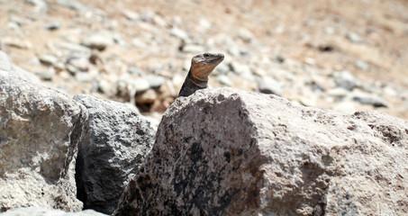Gran-Canaria-Rieseneidechse, Kanareneidechse, Gekko