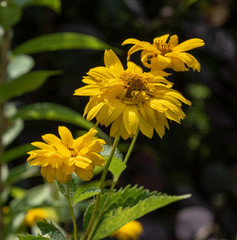 Colorrful outdoor floral macro image of  yellow blooming false sunflower / heliopsis sunflowers on natural blurred green background taken on a sunny bright summer day