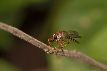 Close up image of robber fiy insect in nature good shot from thailand macro