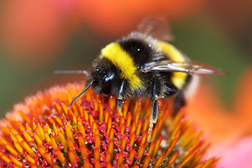 Bumblebee sucks nectar from the flower with her long tongue