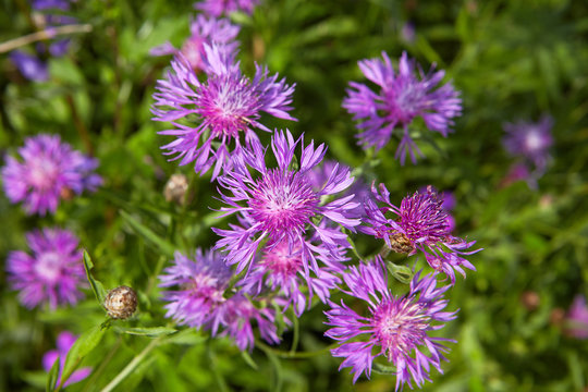 Knapweed close-up in field.