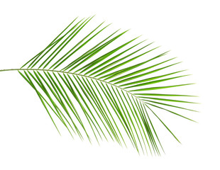 Fresh tropical date palm leaf on white background