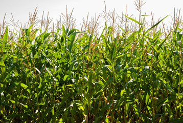Corn field on a sunny day at the end of summer Colorful bright image