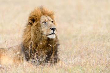 African male lion (Panthera Leo) resting in long grass in Masai Mara, Kenya