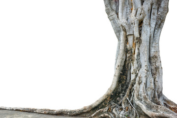 Roots of a tree and trunk isolated on white background. This has clipping path.