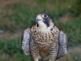 Breathtaking photo of a falcon turning its head