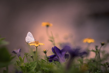 Petit papillon blanc sur fleur jaune (Azuré des nerpruns)