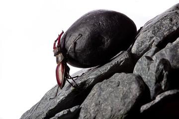 Stug beetle pushing heavy stone boulder up on hill.Sisyphus metaphore.Concept motivation.Hard work.