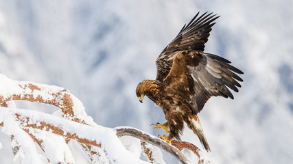 Golden eagle in tree, Telemark, Norway