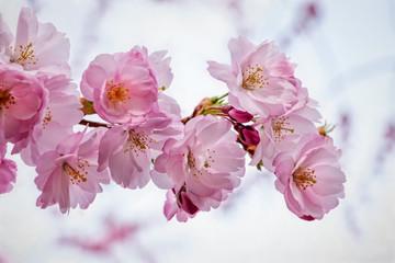 Cherry blossom in Spring in Stockholm
