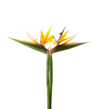 Beautiful bird of paradise flowers on white background. Tropical plant