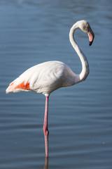 Pink flamingo, Camargue, France