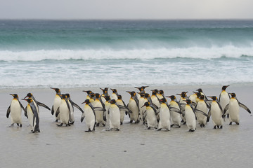 Large group of King Penguins (Aptenodytes patagonicus) come ashore after a short dip in a stormy South Atlantic at Volunteer Point in the Falkland Islands.