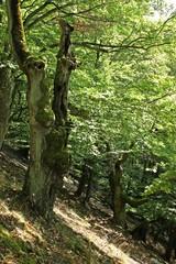 Uralte hohle Buchen an der Hagenstein-Route im Nationalpark Kellerwald-Edersee