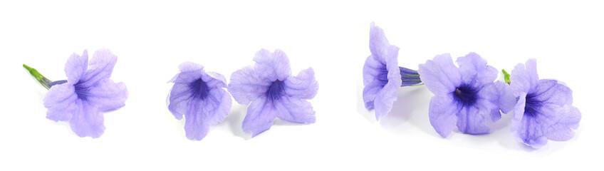 Fresh Purple Ruellia Tuberosa or Minnieroot Flowers Wall mural