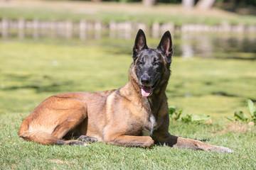 Portrait of belgium shepherd dog living in belgium