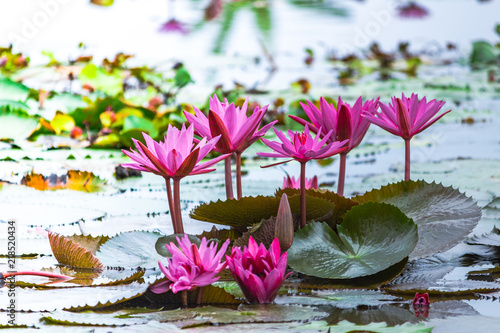 Pink Color Fresh Lotus Blossom Or Water Lily Flower Blooming On Pond