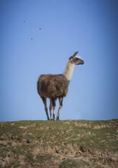 Holy Llama