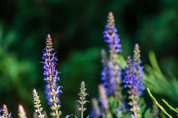 Sage blooms beautifully