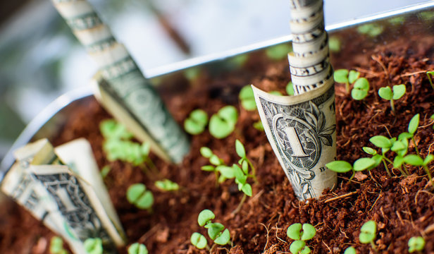 Organic growth of money conceptual cash money growing in earth with seedlings creative dollars financial and banking photography background