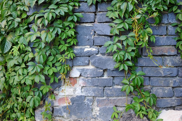 Beautiful background - the brick wall is covered with wild grapes