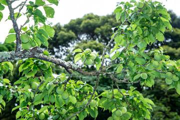 梅の木青いウメの実
