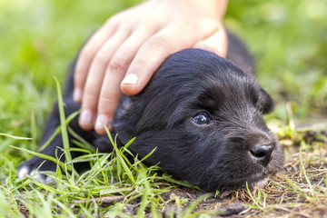 Woman or child hand lovingly caressing small funny black puppy dog with trusting shiny eyes.