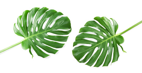 Set with tropical Monstera leaves on white background