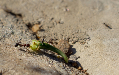 Close-up of an ant dragging a piece of aloe leave up hill.