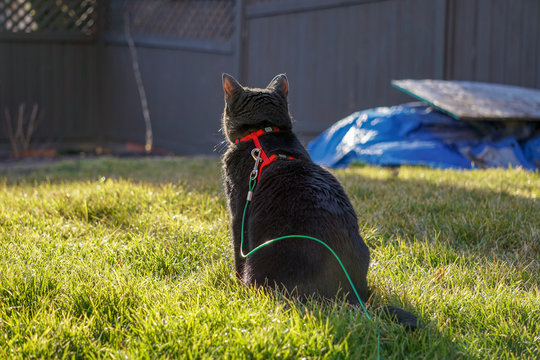 Black Cat Outside on a Harness