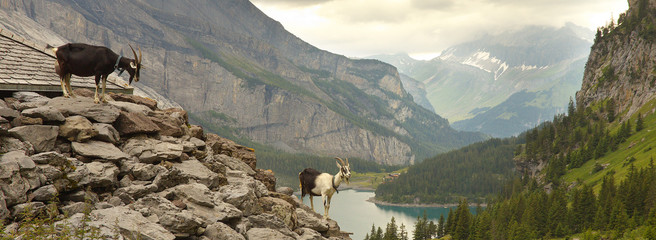 Two goats standing on the stony pile with a lake of Oeschinensee on background, Swiss Alps
