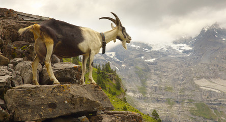 A Goat standing on the stony pile with a mountains on background, Swiss Alps
