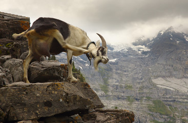 A scratching goat standing on the stone with a mountains on background, Swiss Alps
