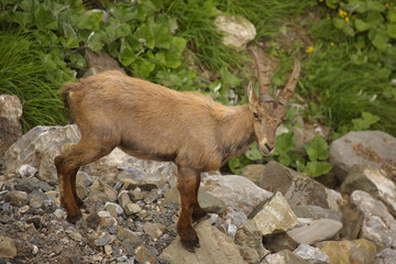 Young alpine ibex, view from close-up