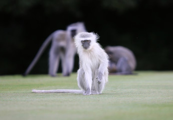 Close-up of Vervet Monkey on Golf Course