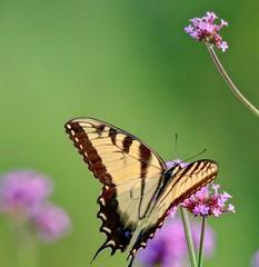 Beautiful Yellow Swallowtail butterfly feeding on a pink flower, closeup