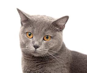 blue gray british cat on the white