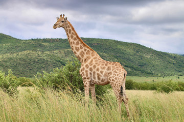 HD Picture of Giraffe against backdrop of Green Mountain