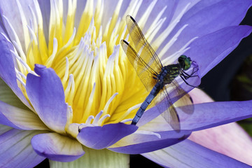 Dragonfly on yellow Nymphaea Emerald Blue  water lily